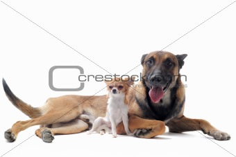 chihuahua and malinois