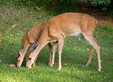 Doe and fawn eating together
