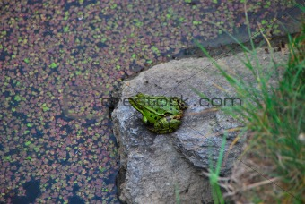 green frog at the lake