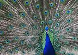 peacock in zoo