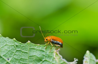 orange beetle in green nature or in the garden