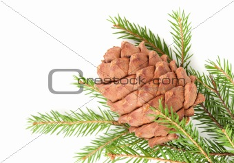 Great fir cone