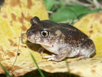 Spadefoot Toad (Scaphiopus holbrookii)