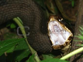 Cottonmouth (Agkistrodon piscivorus)