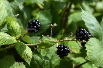 blackberry outdoors