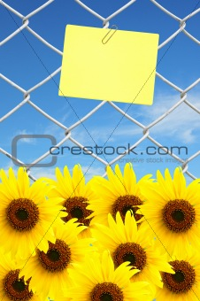 beautiful sunflower and yellow note on chain link fence see blue sky