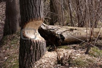Beaver Damaged Tree