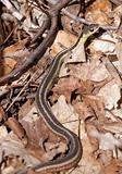 Slender Garter Snake