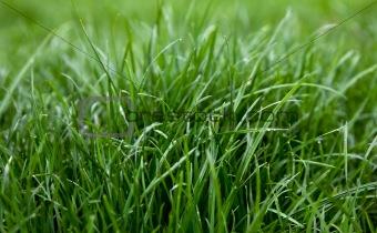 Green grass dew