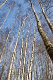 spring forests birches on sky bacground