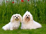 Two Bichon Havanais dogs