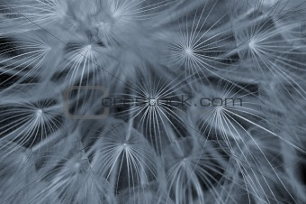 dandelion abstraction