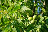 Green walnut fruits on tree