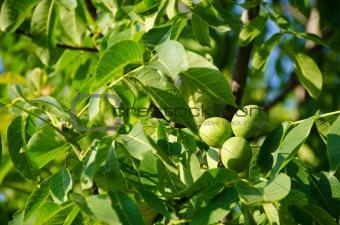 Green walnut fruits on tree