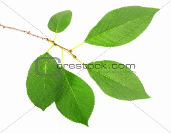 One branch with green leaf of cherry-tree