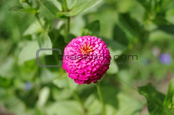 Single flower of zinnia on a soft green blurred background