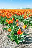 Millions of tulips