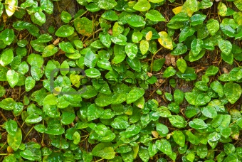 Close up of ivy plant