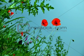 Blooming poppies over blue sky