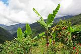 banana tree in the mountains
