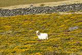 Lamb in gorse flowers.