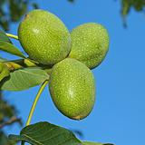 Green Walnut fruits