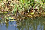 Florida Water Snake (Nerodia fasciata pictiventris)