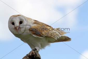a stunning owl