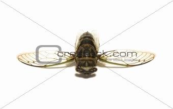 Cicada Tibicen Davisi
