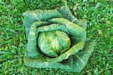 head of cabbage over grass