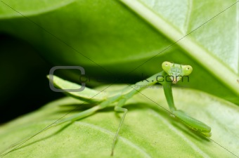 little mantis in green nature