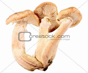 Group of three fresh mushroom