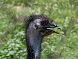 ostrich in the farm