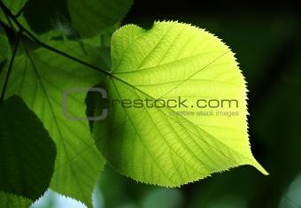 green leaf glowing in sunlight