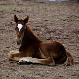 Horse foal sitting on the ground