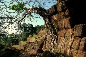 Pagoda tree on the ruins of Vat Phou, Laos