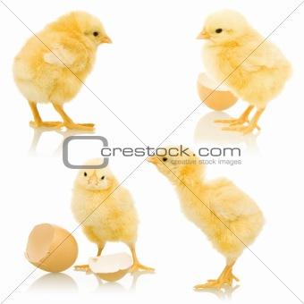 Little fluffy chickens