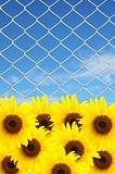 beautiful sunflower and chain link fence see blue sky