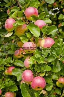 apples on the apple-tree