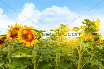 Field of colorful sunflowers and blue sky