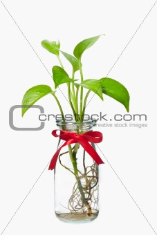 Pothos with red ribbon in bottle
