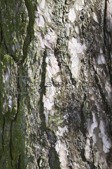 background pine bark