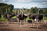 Ostriches