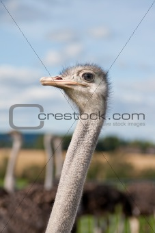Ostrich head