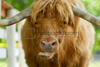 Scottish highlander ox