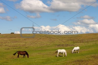 Three horses grazing in a meadow