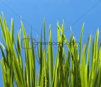 Close up of fresh green grass