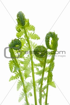 Young wild green fern