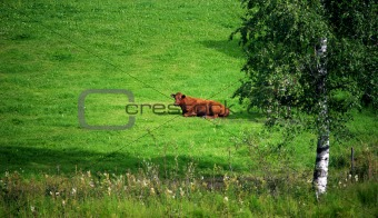 resting cow