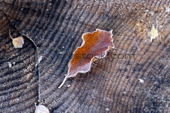 Frozen leaf of lime tree